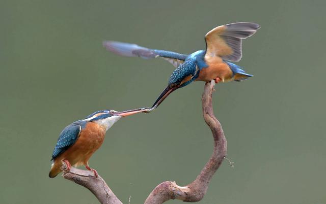野生鳥類圖集:翠鳥科圖片 - 每日頭條