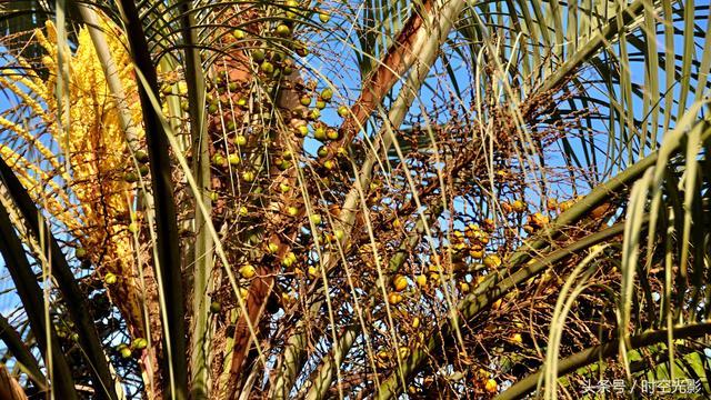 形態各異的棕櫚果。你知道的有多少? - 每日頭條