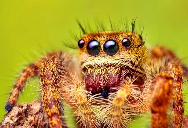 你的眼睛有我多嗎?跳蛛微距萌攝影 - 每日頭條