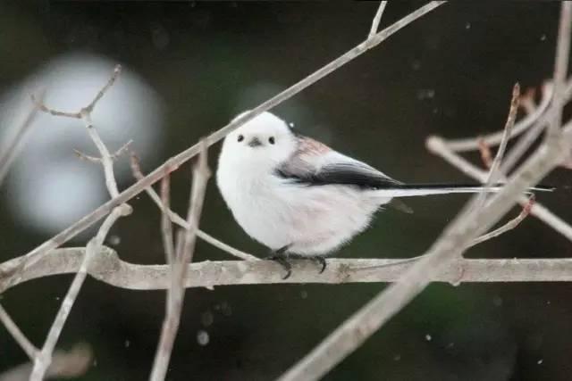 銀喉長尾山雀:快來人啊,這裡有一團糯米糍! - 每日頭條