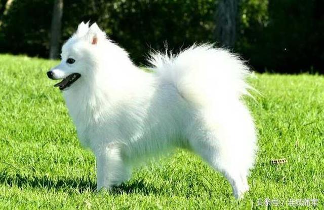 「寵物飼養」長不大的狗狗品種有哪些? - 每日頭條
