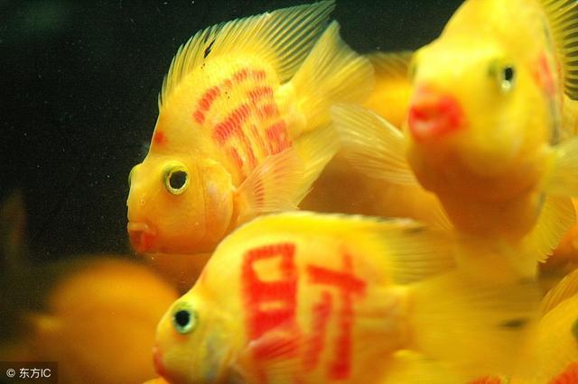 「觀賞魚」鸚鵡魚能容忍的混養對象 - 每日頭條