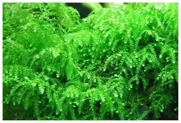 莫斯品種大全,26種莫絲介紹-水草缸植物 - 每日頭條