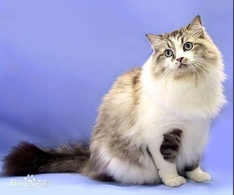 最全貓咪分類。中型貓品種介紹及圖片展示 - 每日頭條