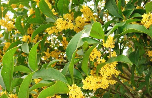 桂花盆栽里摻點「它」,枝芽冒不停,滿園飄著桂花香 - 每日頭條