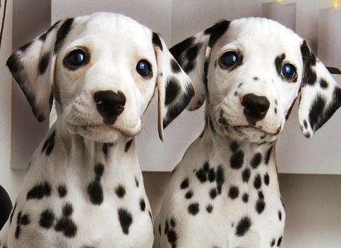 大麥町犬的購買和飼養知識 - 每日頭條