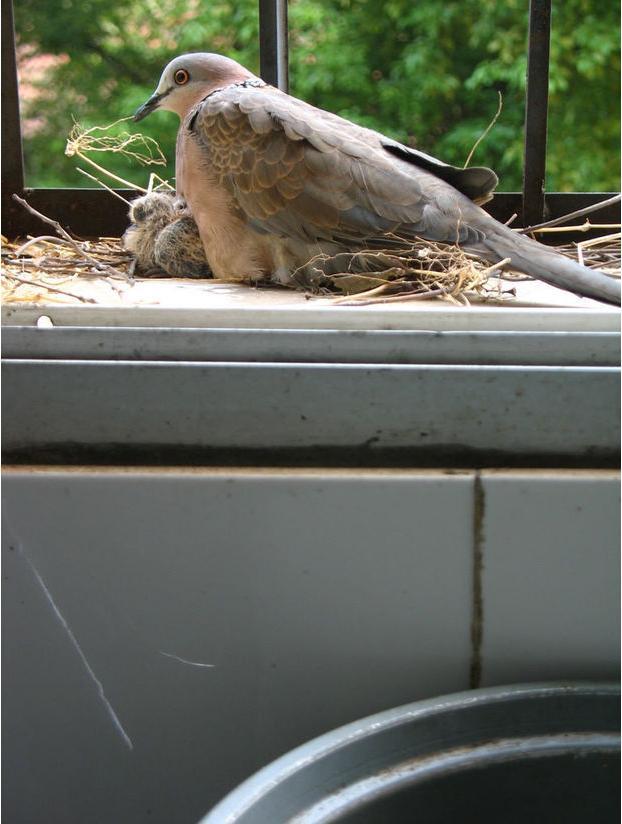 斑鳩在自家窗臺築巢。網友收留了它們一家結果看到最暖心的一幕! - 每日頭條