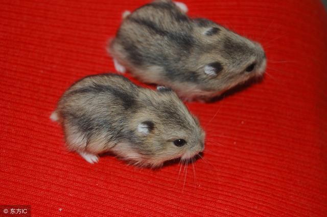 市場上幾種常見的倉鼠區別在哪。你知道嗎? - 每日頭條