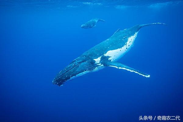最大的哺乳動物,非藍鯨莫屬,如今數量不多 - 每日頭條