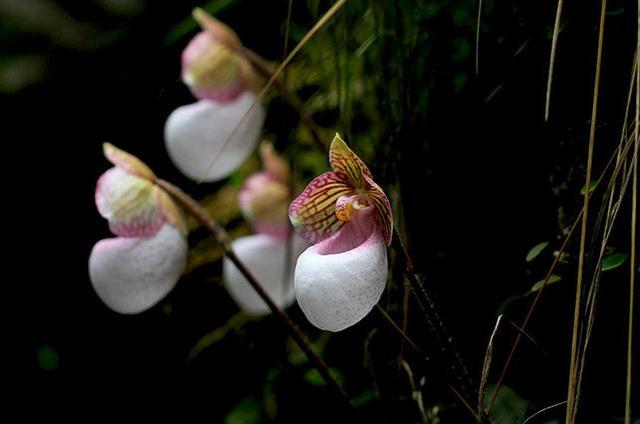 兜蘭,拖鞋蘭(花卉---蘭花養殖種植參考) - 每日頭條