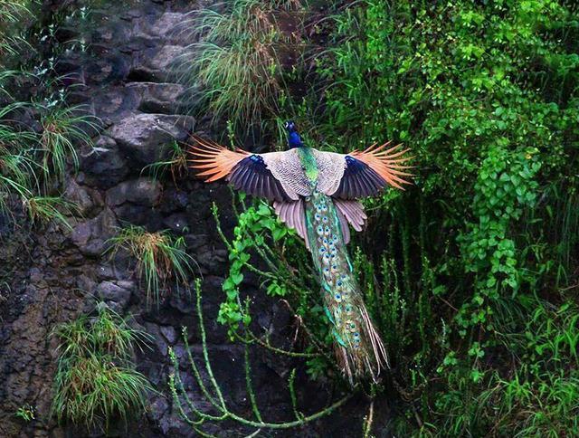 你見過孔雀飛行嗎?比孔雀開屏還難遇到。美得如鳳凰! - 每日頭條