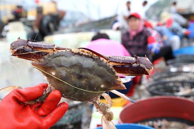 又到梭子蟹上市的季節 購買梭子蟹是有訣竅的 挑錯了可就虧了 - 每日頭條
