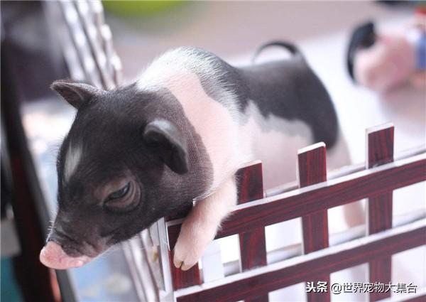 迷你寵物豬真的長不大嗎?它們是哪裡來的 - 每日頭條