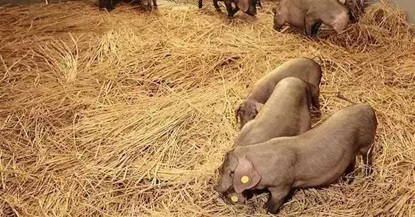 7年磨一豬的網易味央獲1.6億融資,養豬居然也成了一門好生意 - 每日頭條
