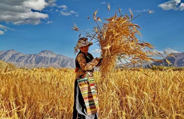 藏族人民強身神物。有哪些功效和食用禁忌? - 每日頭條
