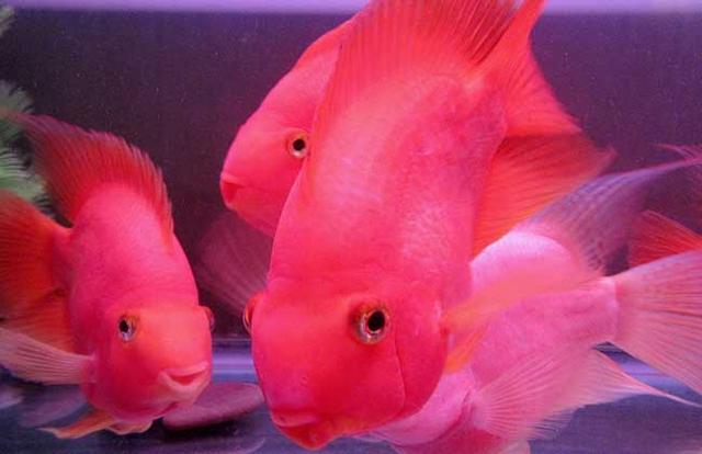 鸚鵡魚的市場價格是多少 養鸚鵡魚的注意事項是什麼 - 每日頭條