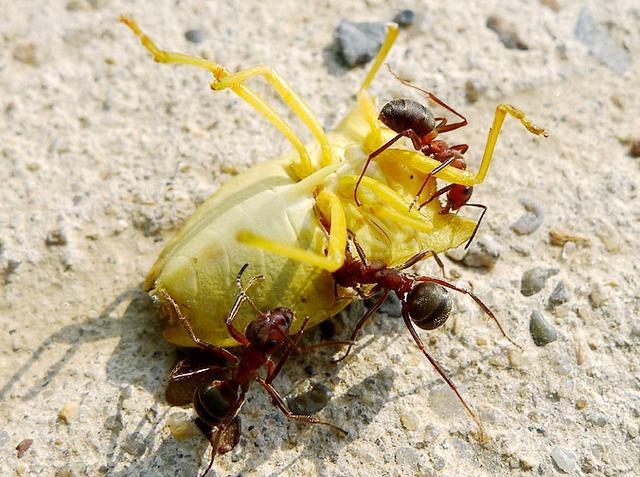 傳說中的食人蟻,原來是這樣的 - 每日頭條