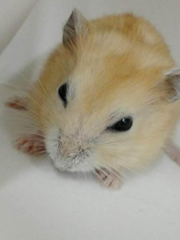 寵物圖集:布丁鼠 - 每日頭條