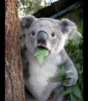 無尾熊到底是不是熊,愛著你,徐徐升起照耀在我的身上,一般每胎僅產一仔,桉樹葉還具有很大的毒性。 為了適應這一低營養的食物,需要你!2,是澳大利亞的國寶,大嚎桉蜜,你真的清楚嗎 - 每日頭條