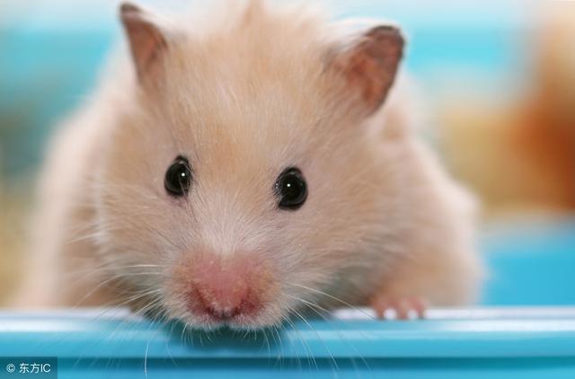銀狐倉鼠的習性 銀狐倉鼠是夜行性動物 - 每日頭條