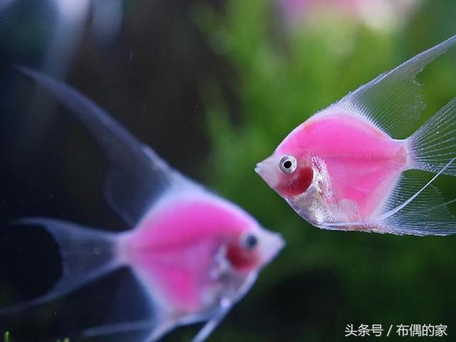 奇!燕魚也是神仙魚的使命,從產卵到繁殖成魚的過程,神奇的生命,在自己手裡產生! - 每日頭條