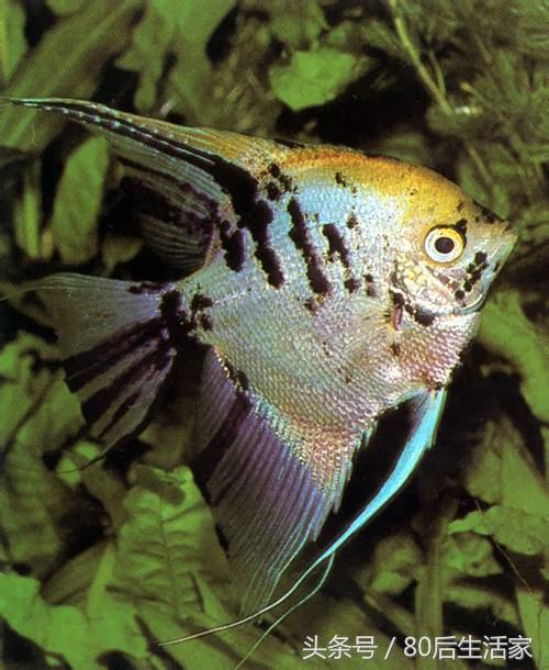 風水魚類篇——神仙魚 - 每日頭條