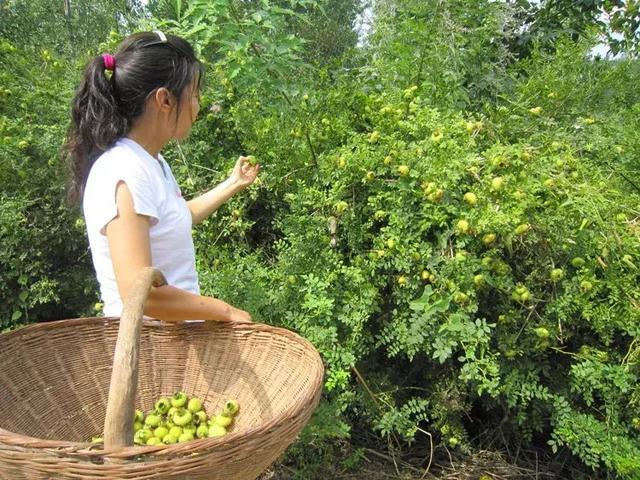 農村野果「維C之王」,全身刺難以下口,吃一個能頂6個蘋果 - 每日頭條