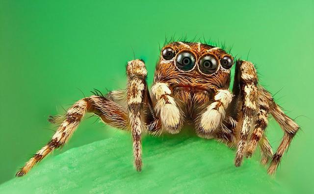 攝影師微距拍跳蛛 四隻眼睛似外星生物 - 每日頭條