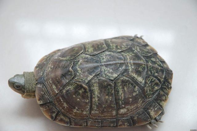 龜龜的成人禮——換甲 - 每日頭條