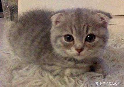 幾種在中國比較受歡迎的寵物貓品種 - 每日頭條