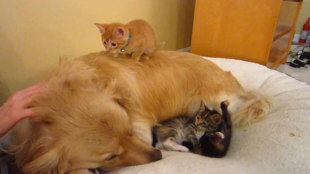 金毛包養了三隻貓,睡覺都黏在一起,實力秀恩愛 - 每日頭條