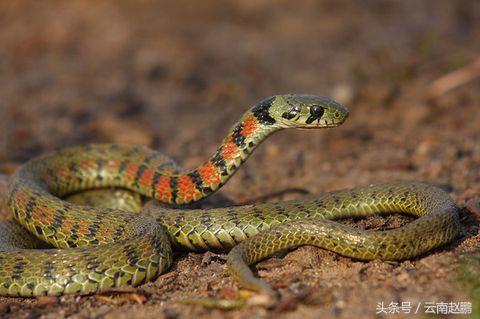 路遇大花蛇(虎斑頸槽蛇) - 每日頭條