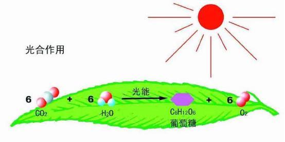 植物的光合作用 海水中的植物怎樣吸收陽光 - 每日頭條