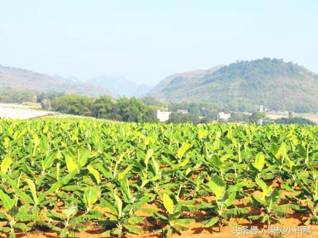 香蕉「組培苗」栽培大面積推廣!七個技術要點得知道 - 每日頭條