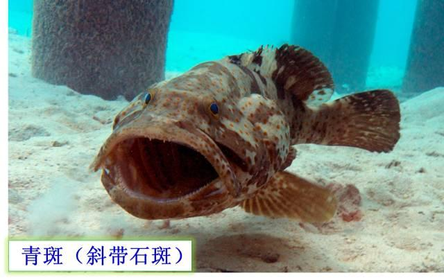 乾貨 | 可能是史上最權威石斑魚介紹。如何區分珍珠龍膽、龍膽、老鼠斑等? - 每日頭條
