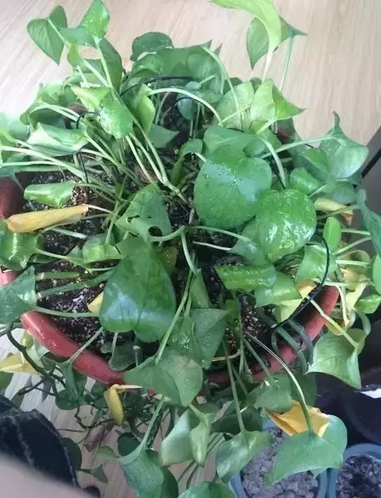 你家花卉葉子黃了是哪種情況?別再瞎整了,這樣做才能「綠葉爆棚」 - 每日頭條