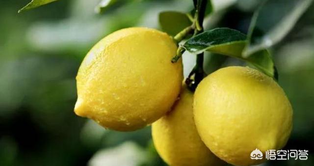 檸檬種植技術(完全版) - 每日頭條