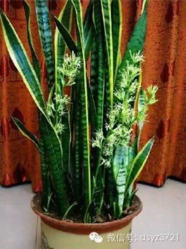 虎皮蘭的種植方式與管理 - 每日頭條