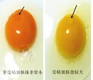 如何簡單快速的辨別土雞蛋和飼料蛋 - 每日頭條