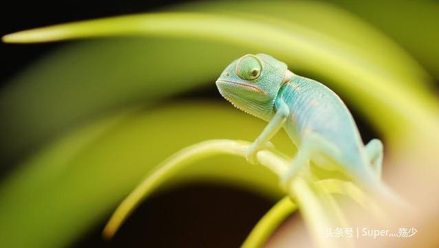 一種最適合新手飼養的變色龍——高冠變色龍 - 每日頭條