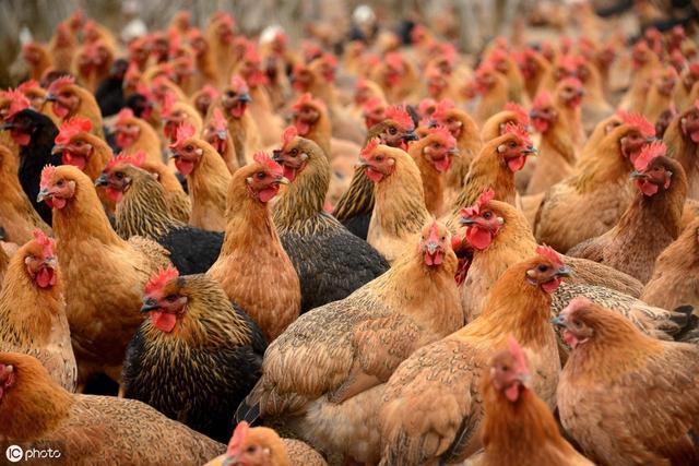 雞怎樣才能長的快、又很肥?需要掌握這些管理技術。你才能多賺錢 - 每日頭條