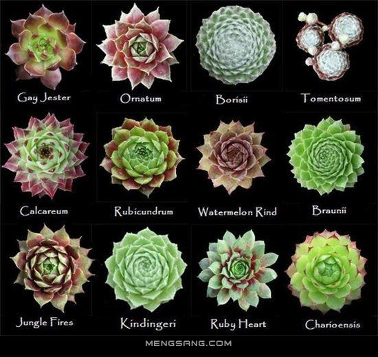 108種長生草屬多肉植物圖鑑 收藏 - 每日頭條