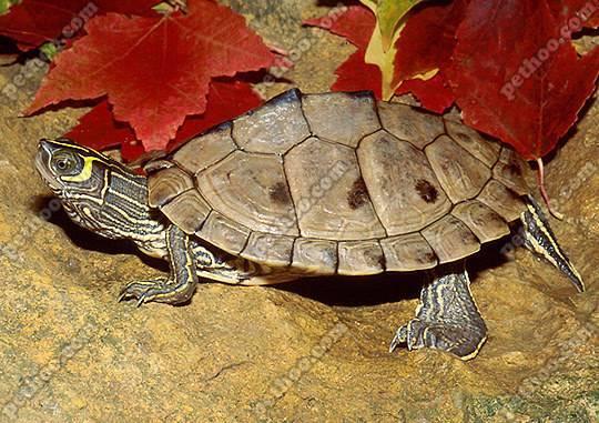 寵物小百科烏龜篇:地圖龜 - 每日頭條