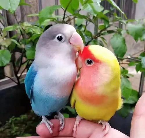 養鳥人基礎手冊之鳥屆二哈。這鸚鵡到底哪來的?收下鸚鵡選擇手冊 - 每日頭條