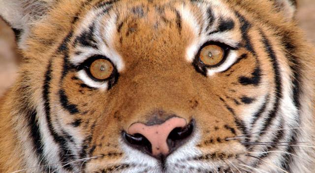 心理學:哪只老虎的眼睛最犀利?測你在感情上的「第六感」準不準 - 每日頭條