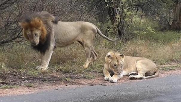 雄獅想要跟母獅辦事,可正趕上母獅心情不好,一個巴掌讓雄獅走開 - 每日頭條