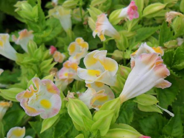 美麗的夏堇種植養護技巧分享,值得喜歡它們的人學習哦 - 每日頭條