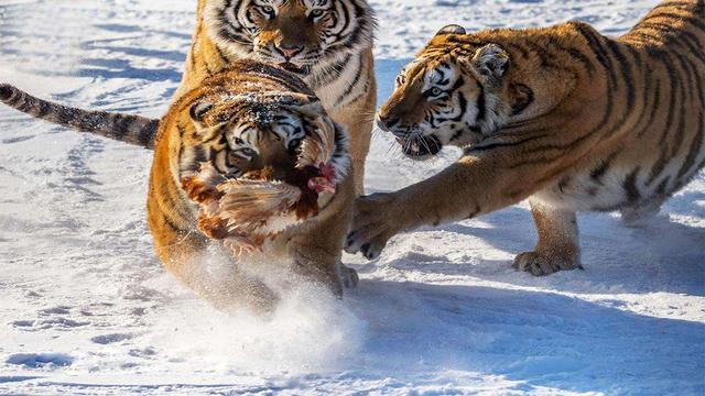 吹牛的不要。東北虎真的是世界上最厲害的貓科動物嗎? - 每日頭條