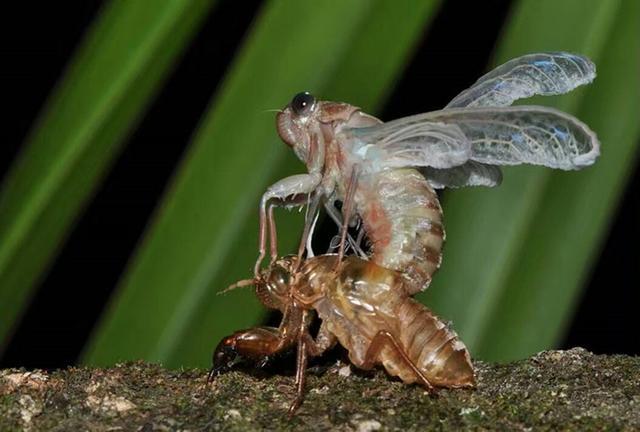 昆蟲的世界《蟬 》 - 每日頭條