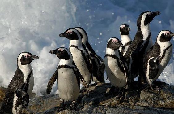 企鵝:黑腳企鵝,又名非洲企鵝,斑嘴環企鵝或公驢企鵝! - 每日頭條